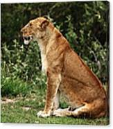 Lioness On The Masai Mara  Canvas Print