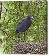 Little Blue Heron Nesting Texas Canvas Print
