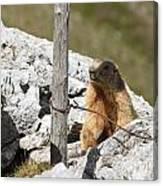 Little Marmot Canvas Print