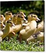 Yellow Muscovy Duck Ducklings Running In Hurry  Canvas Print