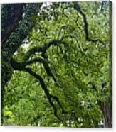 Live Oak Tree At Oak Alley Plantation Canvas Print