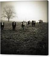 Livestock Canvas Print