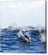 Long-beaked Common Dolphins Canvas Print
