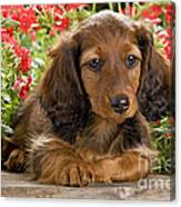 Long-haired Dachshund Canvas Print