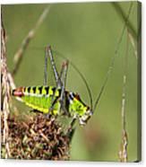 Long-horned Katydid Tettigonid Canvas Print