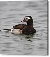 Longtailed Duck Canvas Print