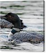 Loons Canvas Print