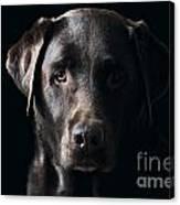 Low Key Chocolate Labrador Canvas Print