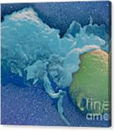 Macrophage Englufing Yeast Cell Canvas Print