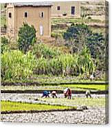 Madagascan Paddyfield Canvas Print