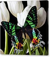 Madagascar Butterfly Canvas Print