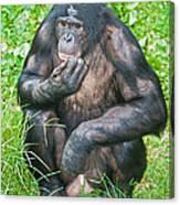 Male Bonobo Canvas Print