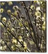 male catkins of willow species in the National Park Dwingelderveld Netherlands Canvas Print