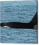 Male Orca Killer Whale In Monterey Bay California 2013 Canvas Print