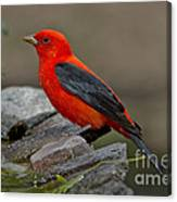 Male Scarlet Tanager Canvas Print