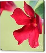 Mandevilla Named Sun Parasol Crimson Canvas Print