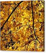 Maple Tree In Yellow Fall Colors Canvas Print