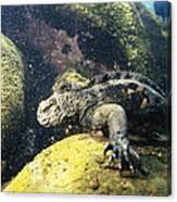 Marine Iguana Grazing On Seaweed Canvas Print