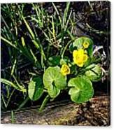 Marsh Marigold Canvas Print