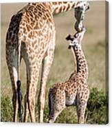 Masai Giraffe Giraffa Camelopardalis Canvas Print