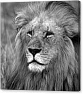 Masai Mara Lion  Canvas Print