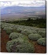 Maui Lavender Farm Canvas Print