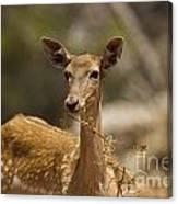 Mesopotamian Fallow Deer 3 Canvas Print