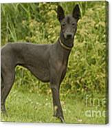 Mexican Hairless Dog Canvas Print