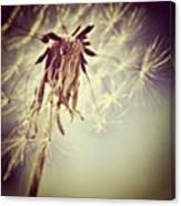 #mgmarts #dandelion #makeawish #wish Canvas Print