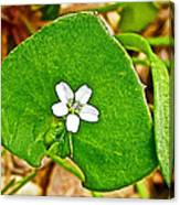 Miner's Lettuce In Park Sierra Near Coarsegold-california  Canvas Print