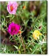 Mixed Portulaca Canvas Print