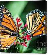Monarch Danaus Plexippus Canvas Print