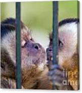 Monkey Species Cebus Apella Behind Bars Canvas Print