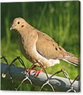 Morning Dove I Canvas Print