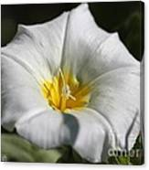 Morning Glory Named White Ensign Canvas Print