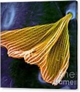 Moth Scale, Sem Canvas Print