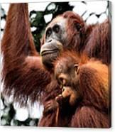 Mother And Baby Orangutan Borneo Canvas Print