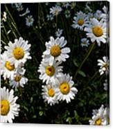 Mountain Daisies Canvas Print