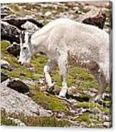 Mountain Goat On Mount Evans Canvas Print
