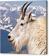 Mountain Goat Portrait On Mount Evans Canvas Print
