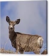 Mule Deer   #0722 Canvas Print