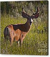 Mule Deer Buck In Velvet   #2164 Canvas Print