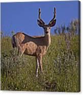 Mule Deer Buck In Velvet   #2231 Canvas Print