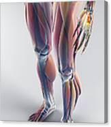 Muscles Of The Lower Body Canvas Print