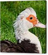 Muscovy Duck Canvas Print