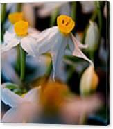 Narcissus Tazetta Canvas Print