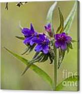 Purple Gromwell Canvas Print