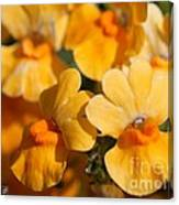Nemesia Named Angelart Pear Canvas Print