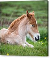 New Born Foal, Iceland Purebred Canvas Print