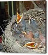 Newborn Robins Canvas Print